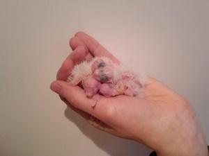 witmasker lutino en albinos