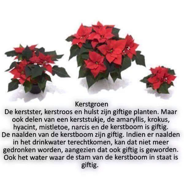 kerstster giftig